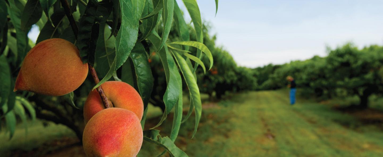Vigne - Arboriculture