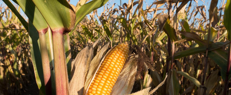 Maïs : Carence en Azote