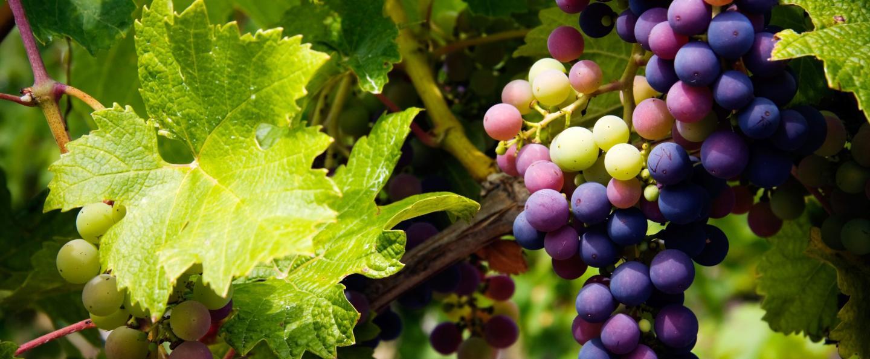 Développement Vigne