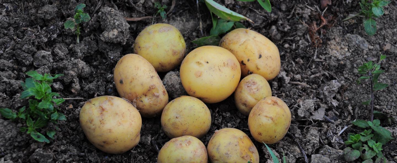 Pomme de Terre & Bore