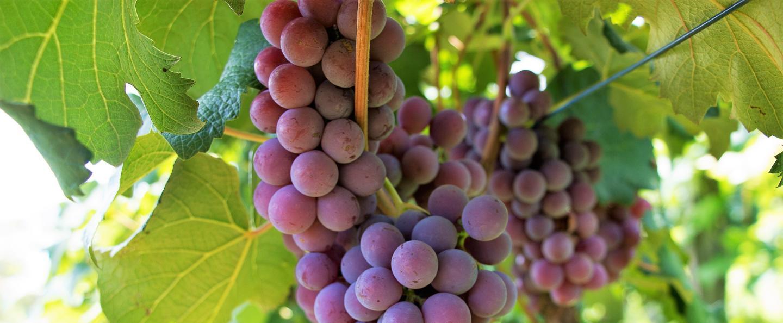 Nutrition Vigne